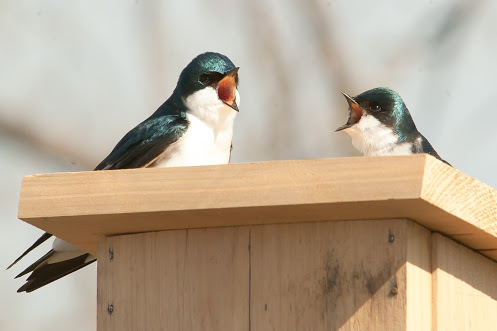 Rocking the Boat's Tree Swallows Breeding Project